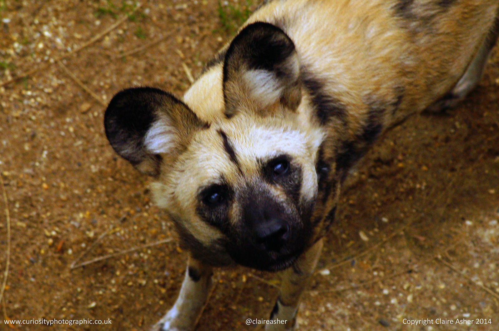 An African Wild Dog (Lycaon pictus) photographed in captivity in 2014.