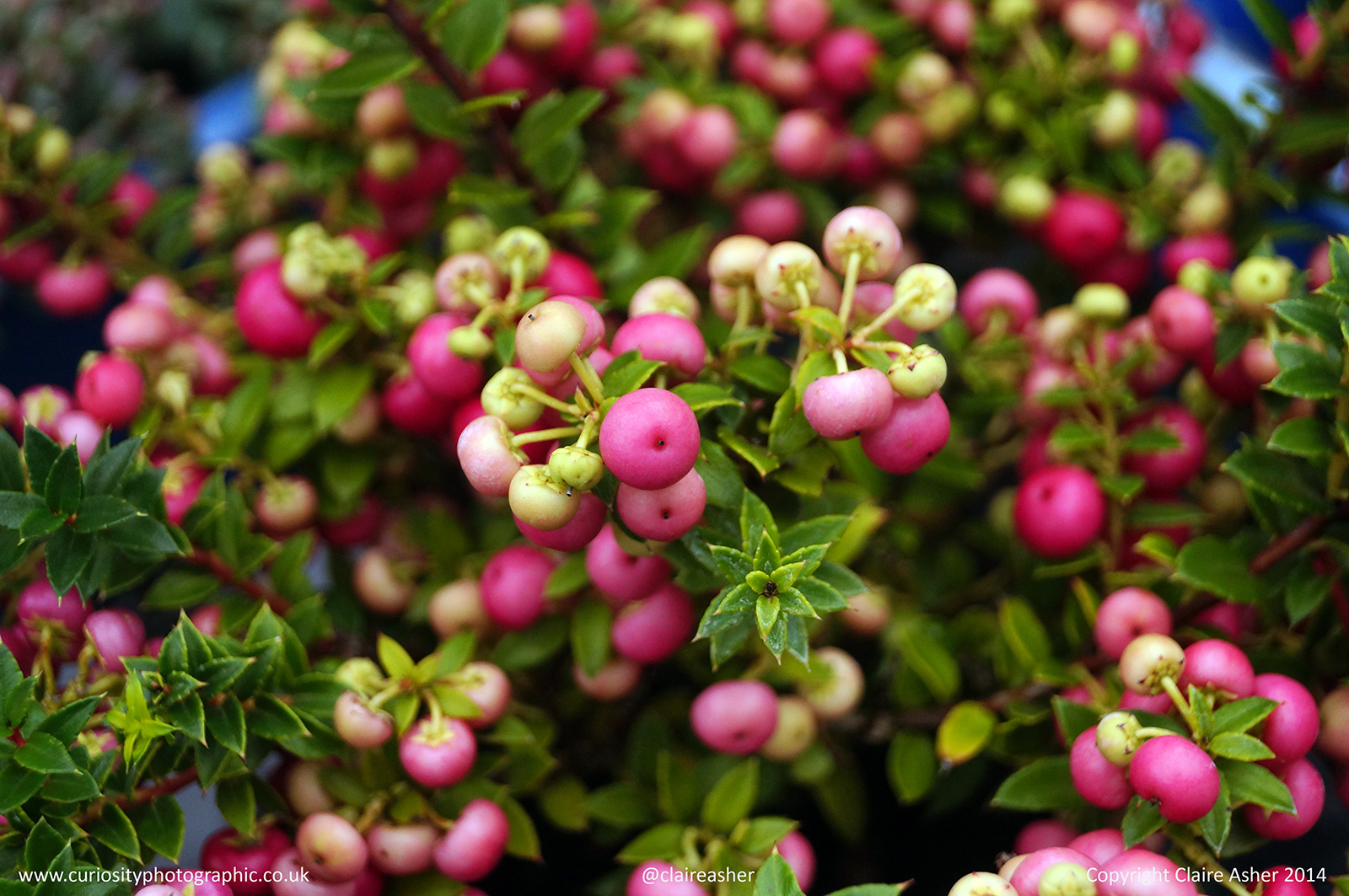 A bush with pink berries photographed in Berkshire in 2014.