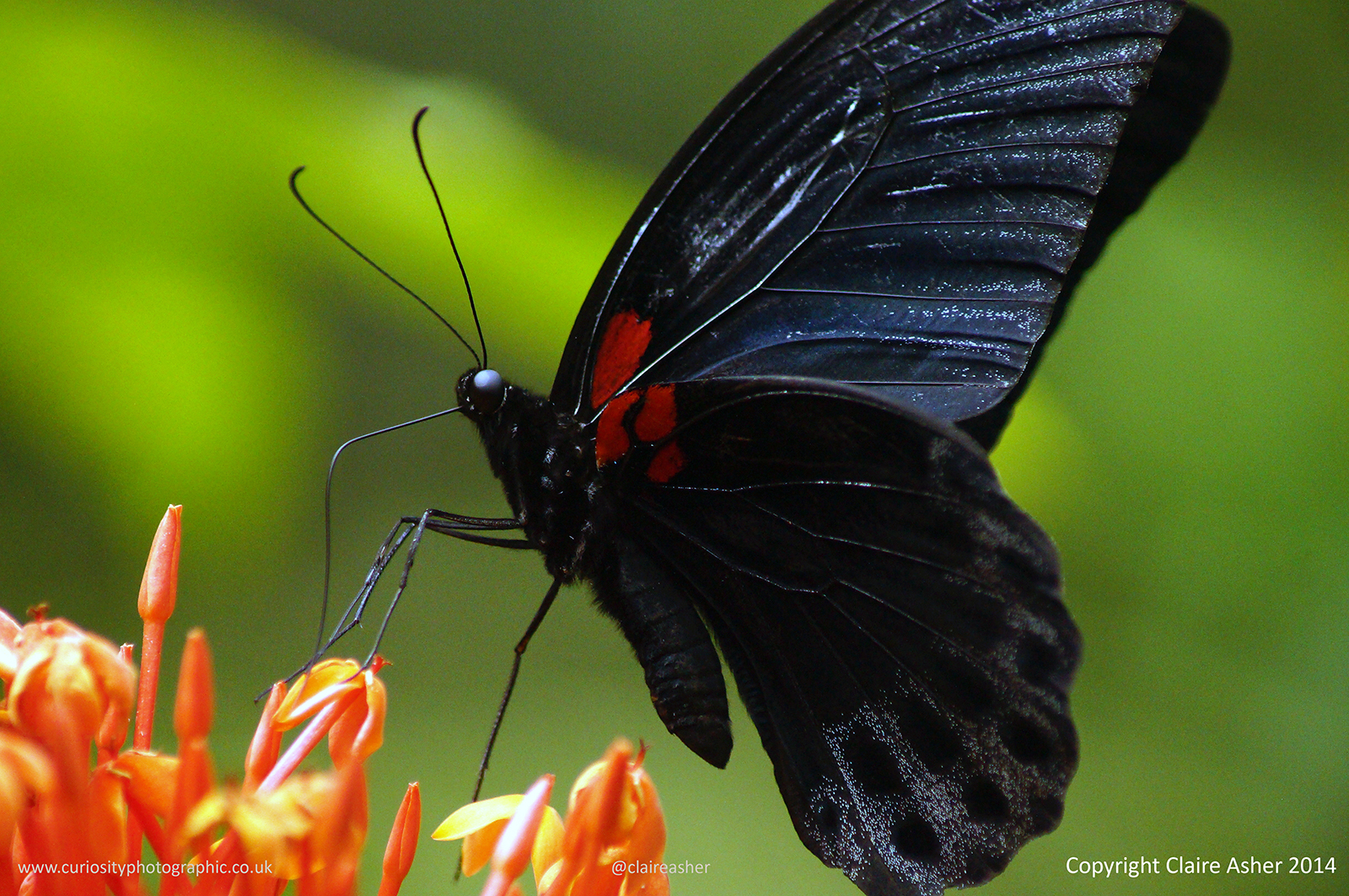 Great Mormon Butterfly photographed in Borneo, Malaysia in 2014.