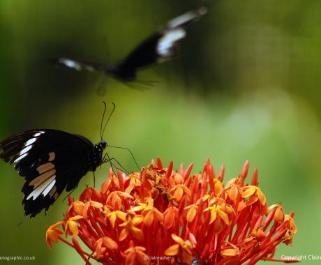Chilasa Butterflies Feeding