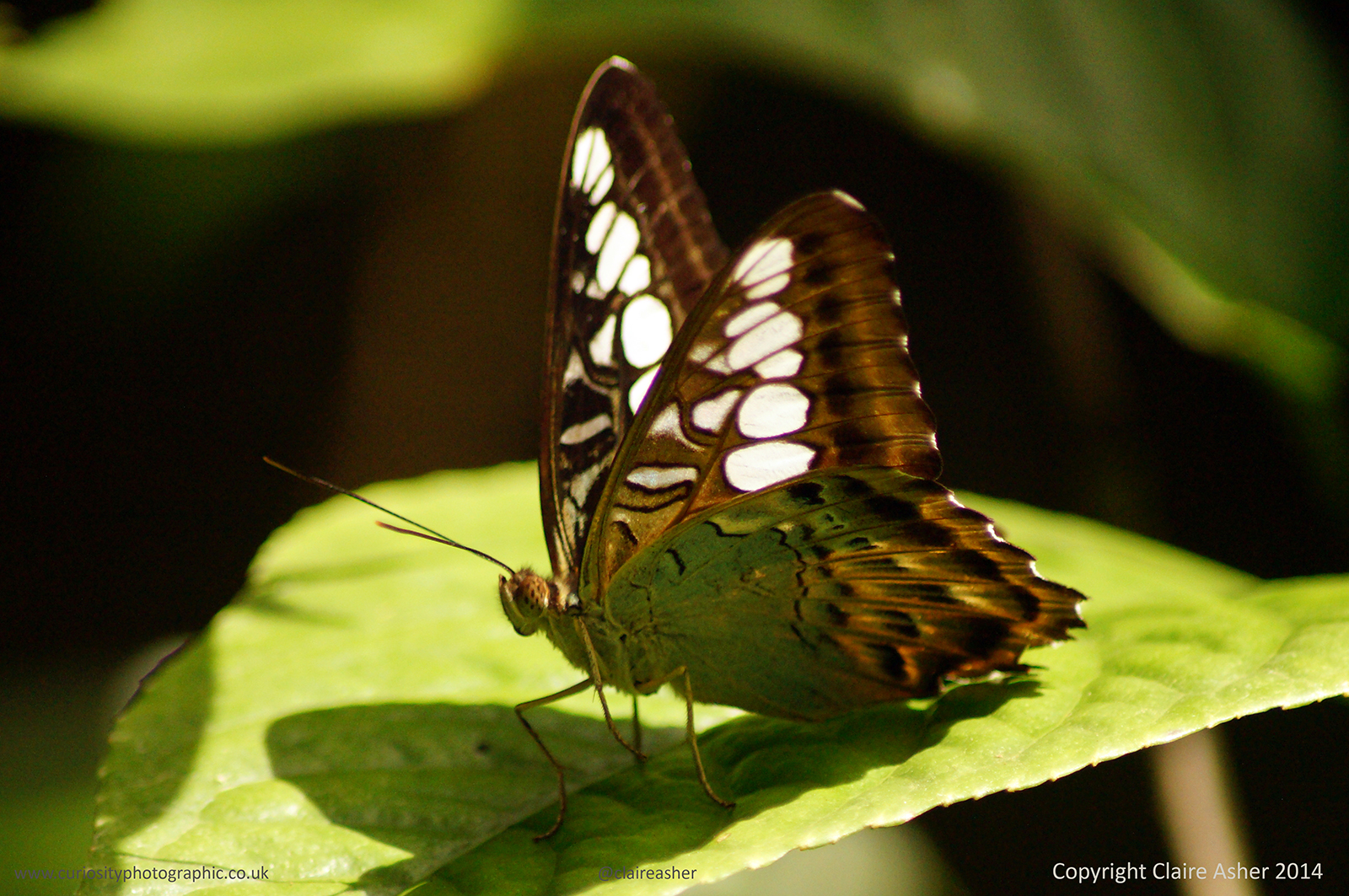 A butterfly photographed in Borneo, Malaysia in 2014.