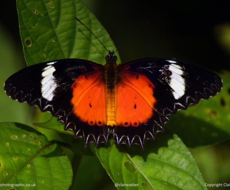 Cethosia Butterfly