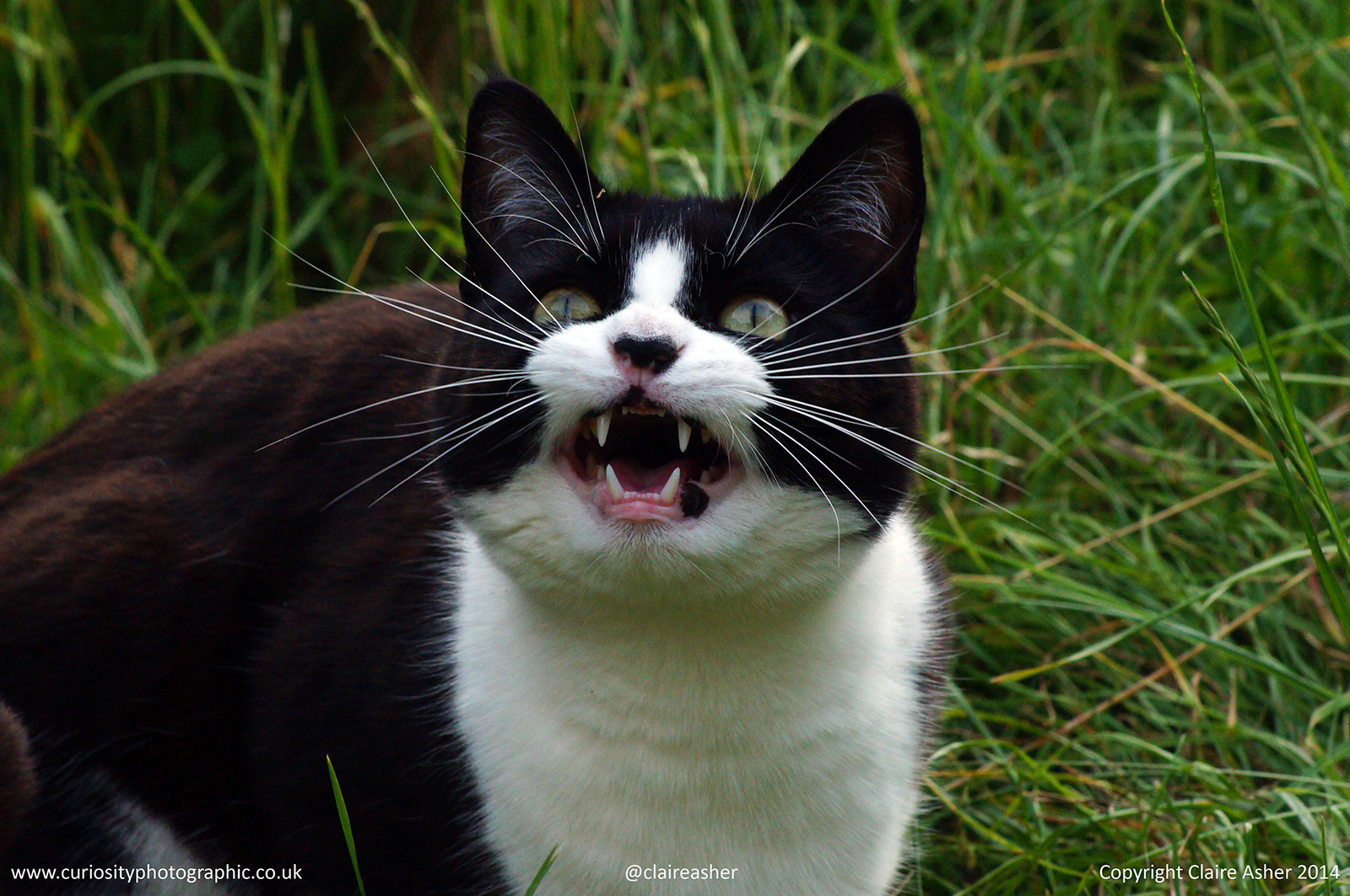 A domestic cat (Felis catus) photographed in Berkshire in 2014.