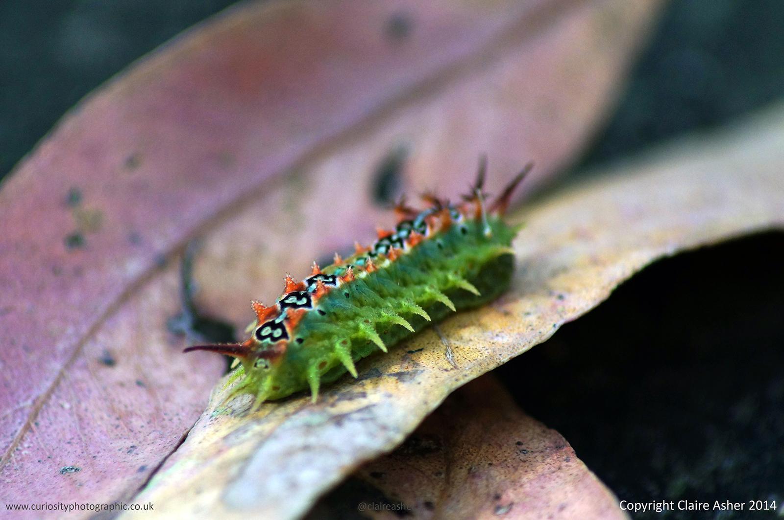 A caterpillar photographed in Philip Island, Australia in 2014