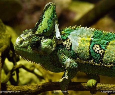 Chameleon on the prowl