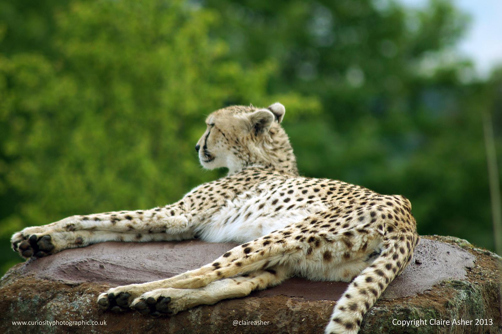 Cheetah (Acinonyx jubatus) photographed in captivity in the UK in 2013
