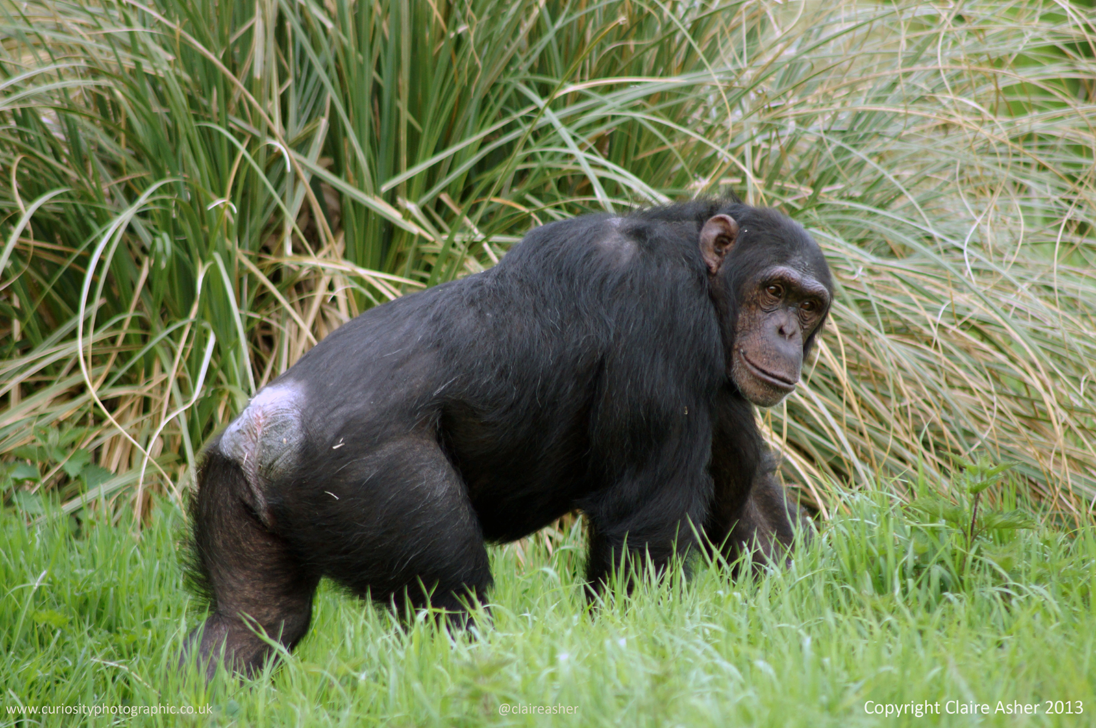 A male Chimpanzee Pan troglodyt) photographed in captivity in the UK in 2013