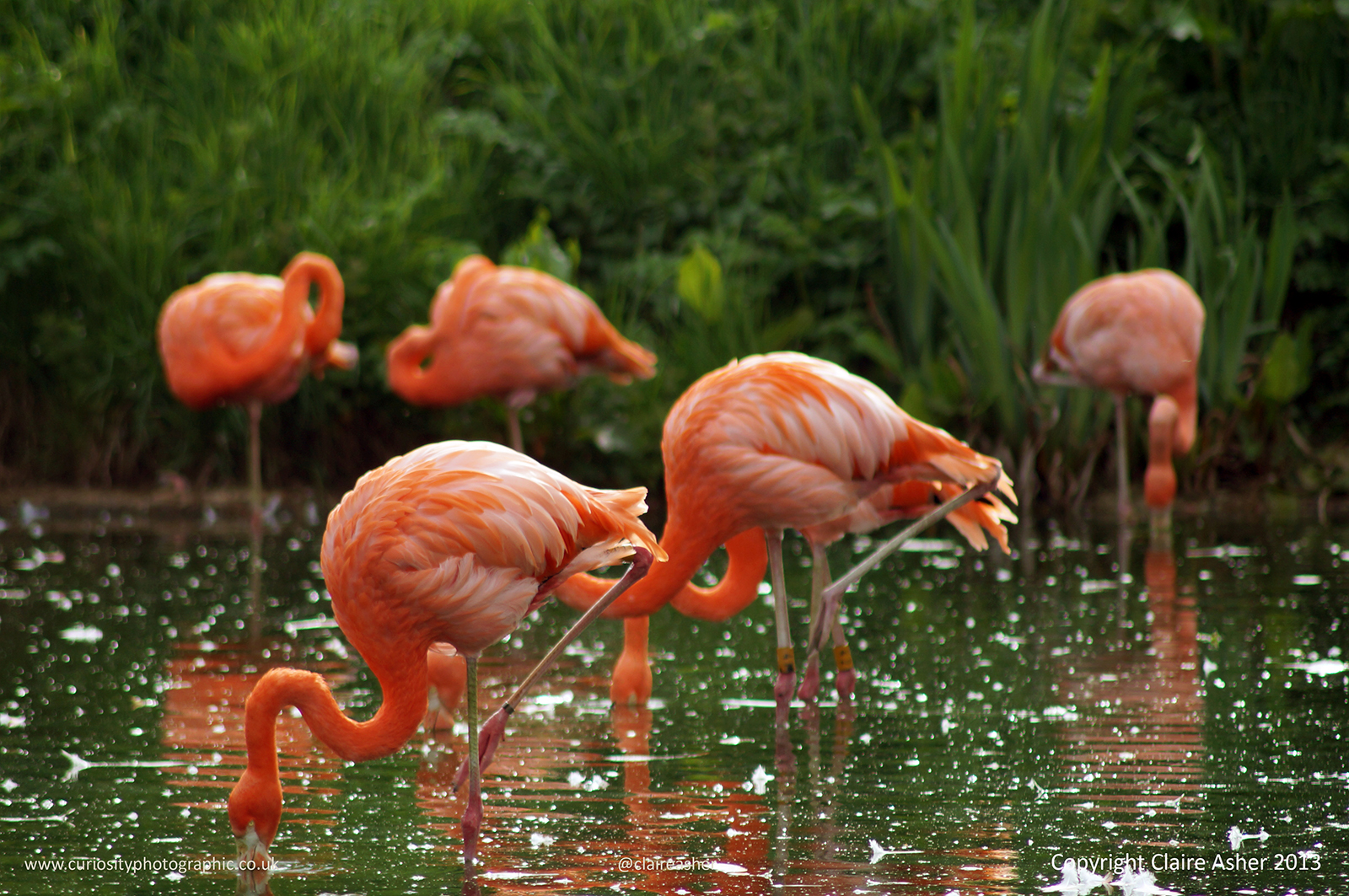 Greater Flamingos (Phoenicopterus roseus) photographed in captivity in the UK in 2013.