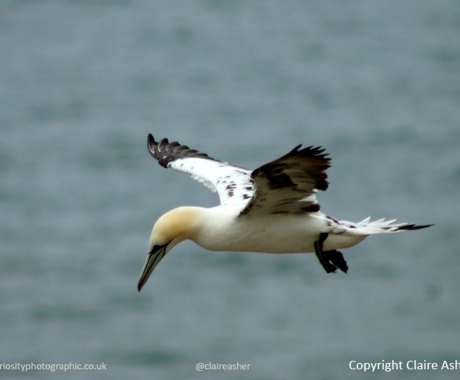 Soaring Gannet