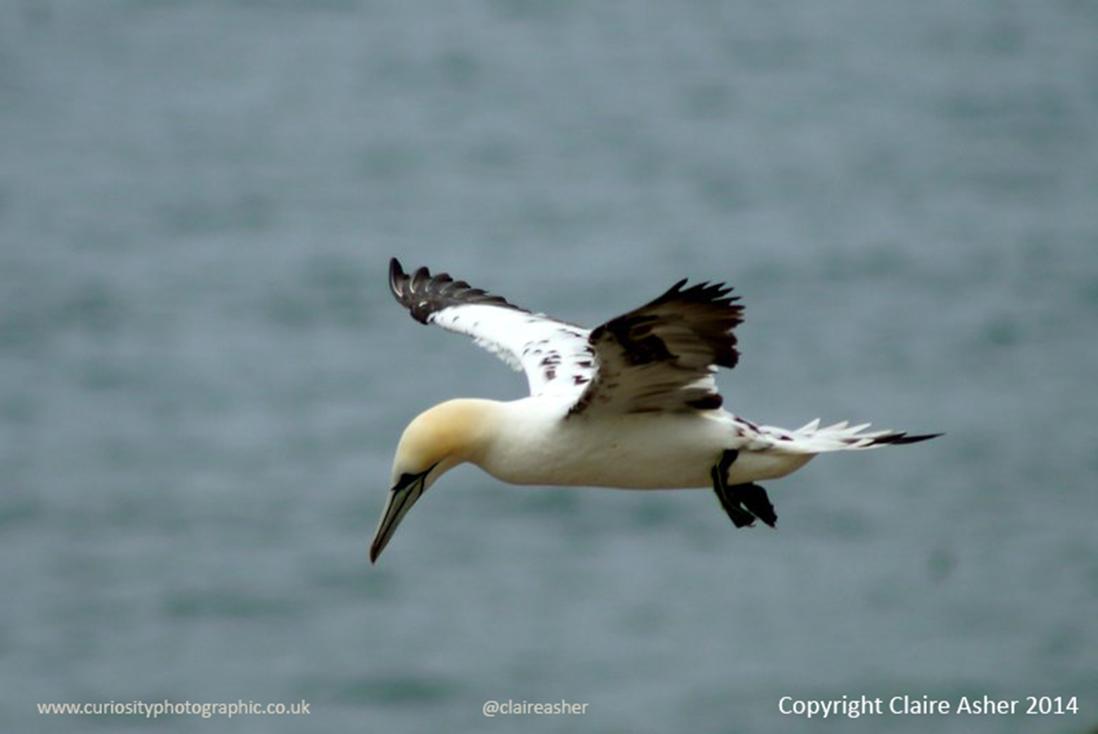 A Gannet (Morus bassanus) photographed in Yorkshire, England in 2013.