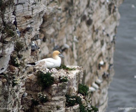 Gannet on Nest