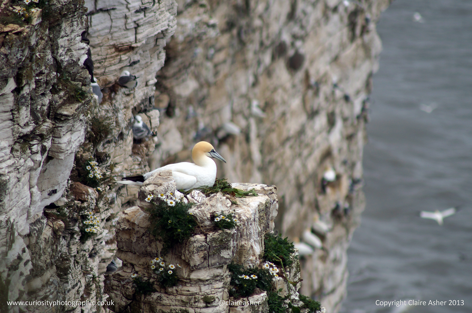 A Gannet tending the nest (Morus bassanus), photographed in Yorkshire, England in 2013.