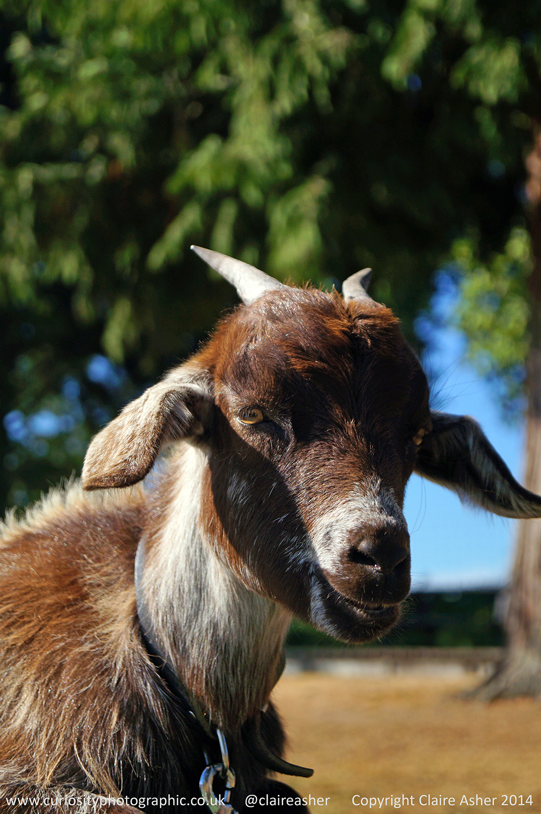 A goat (Capra aegagrus hircus) photographed in New Zealand in 2014