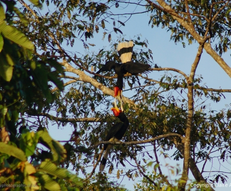 Rhinoceros Hornbill Feeds Its Young