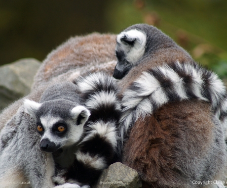 Pile of Lemurs