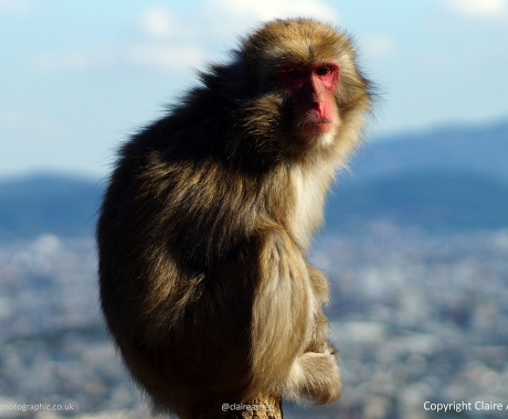 Macaque Surveys Kyoto