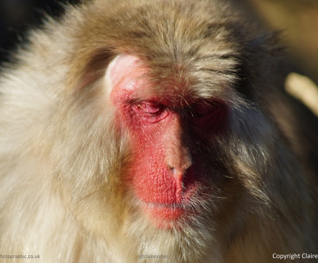 Male Japanese Macaque
