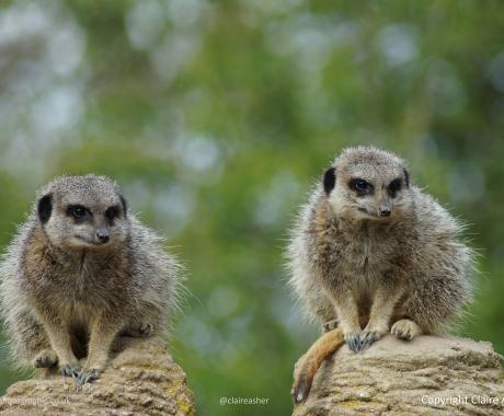Meerkats Stand Guard