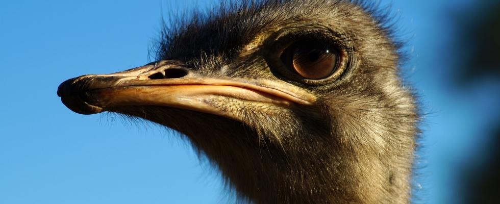 Ostrich Photo Print