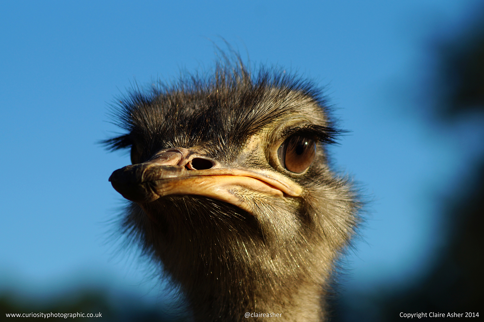 An Ostrich (Struthio camelus) photographed in captivity in New Zealand in 2014.