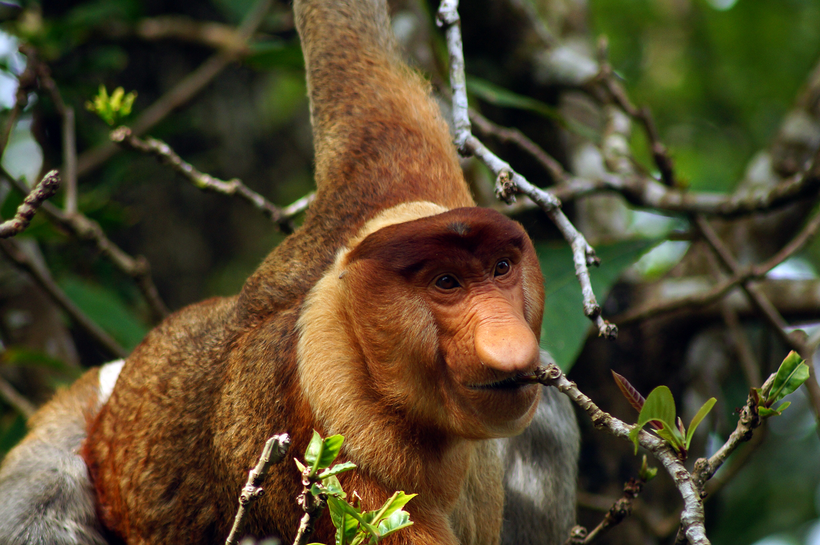 A male Proboscis monkey (Nasalis larvatus), photographed in Borneo, Malaysia in 2014.