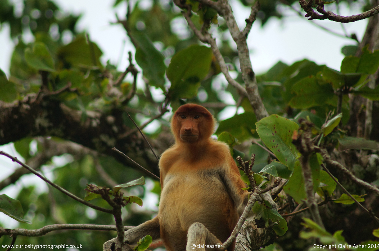 A female Proboscis monkey (Nasalis larvatus), photographed in Borneo, Malaysia in 2014.