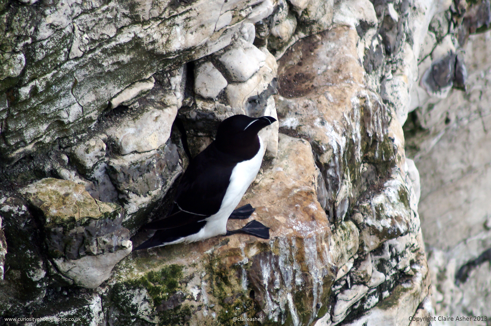 A Razorbill (Alca torda) photographed in Yorkshire, England in 2013.