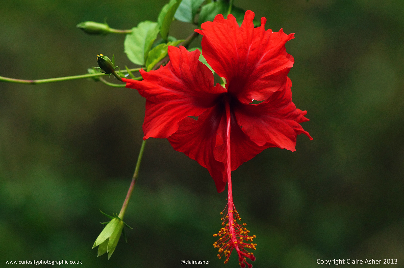A Red Hibiscus flower (Hibiscus rosa-sinensis) photographed in Yangshuo, China in 2013