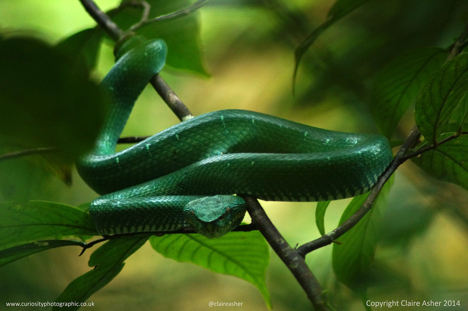 A green tree snake photographed in Borneo, Malaysia in 2014.