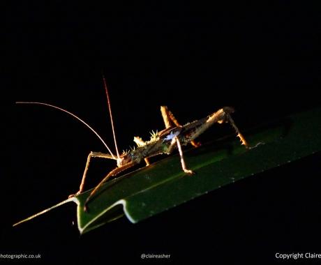 Bornean Stick Insect