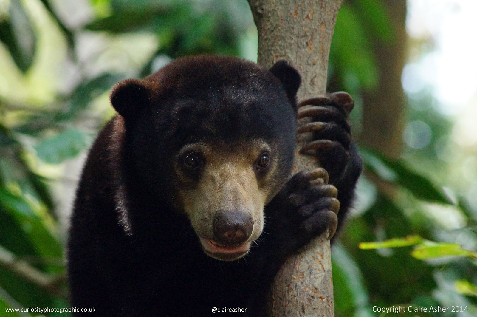 A sunbear (Helarctos malayanus photographed in captivity in Borneo, Malaysia in 2014.