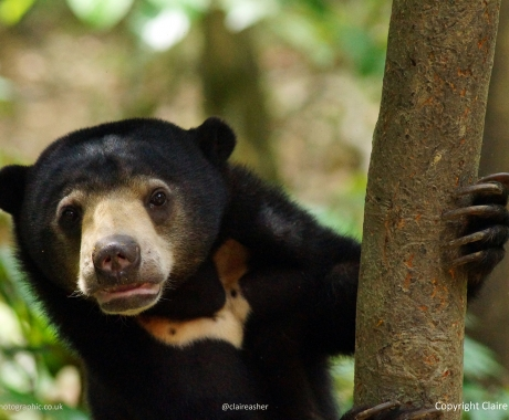 Inquisitive Sun Bear