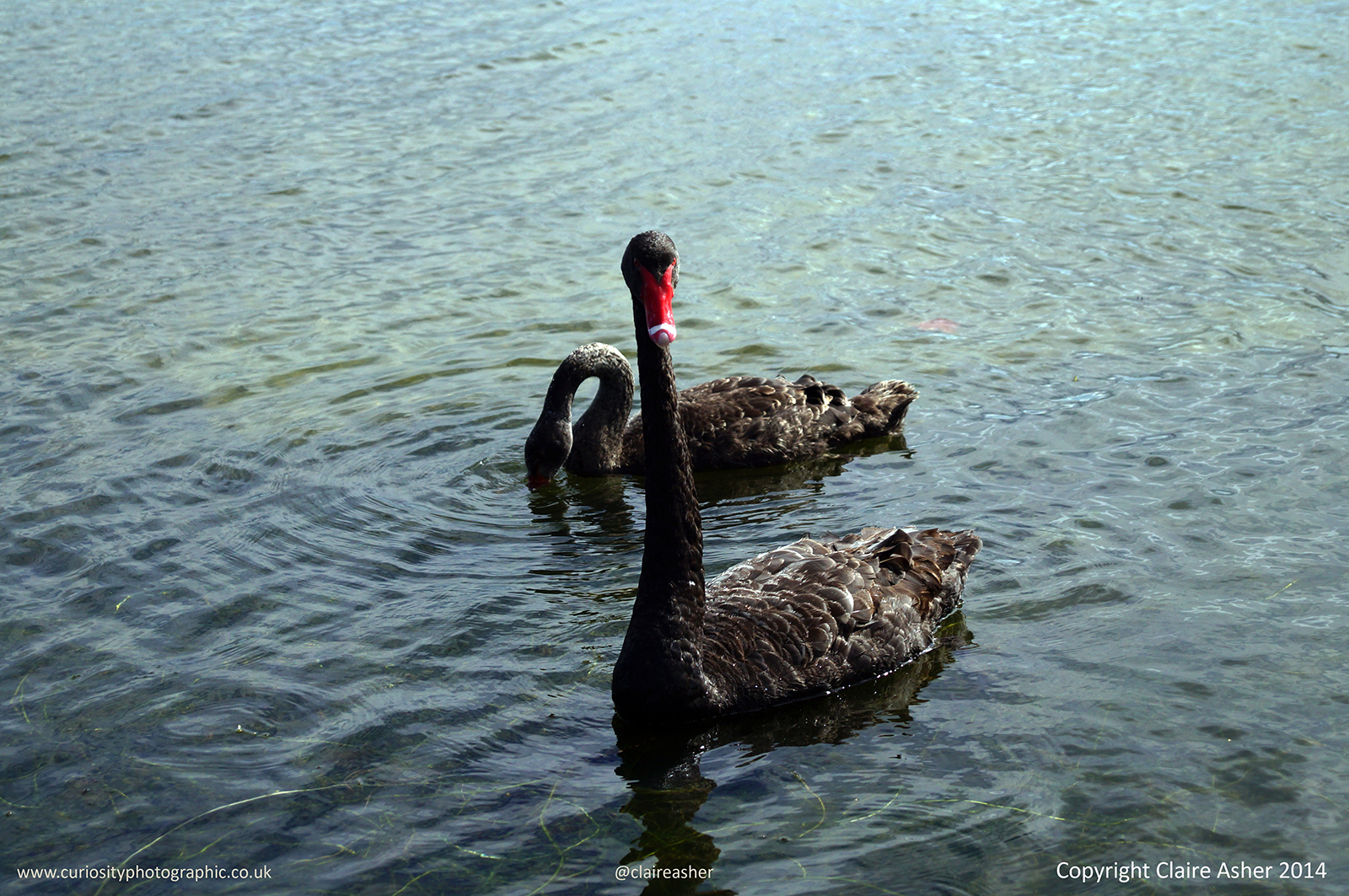 Two Black Swans (Cygnus atratus  photographed in New Zealand in 2014.