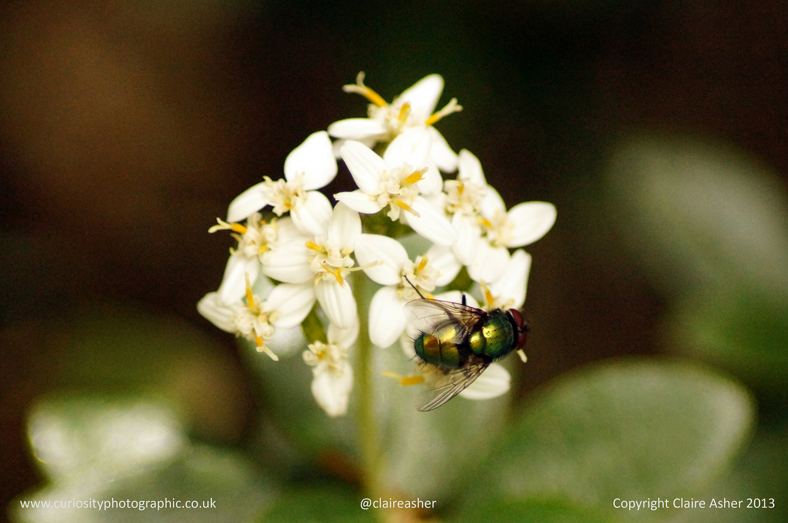 A fly (Lucilia sericata) on a white flower, photographed in England in 2013