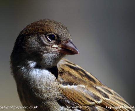 Sparrow in Profile
