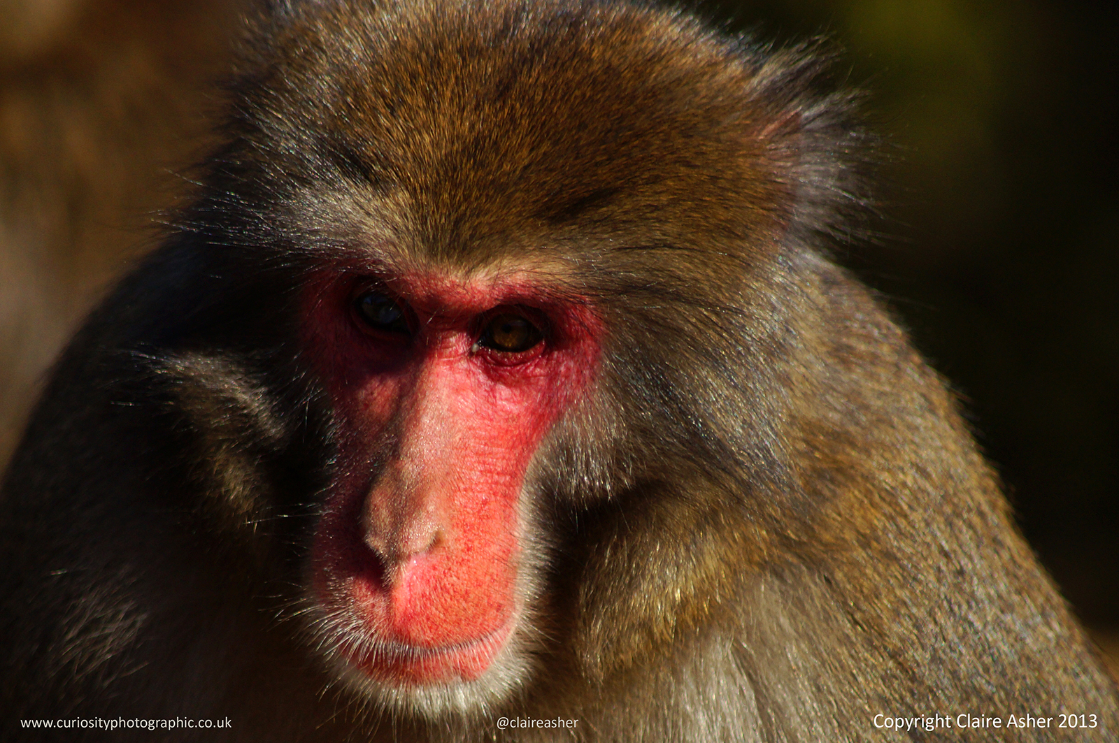 A Japanese macaque (Macaca fuscata) photographed in Kyoto in 2013.
