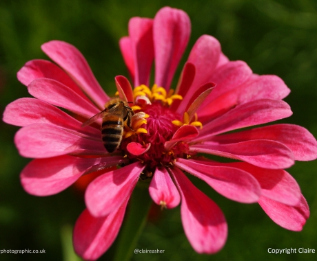 Bee Settles on Pink Flower