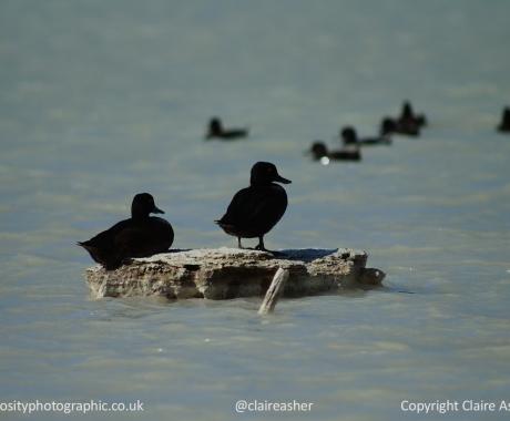 Ducks on a smokey lake
