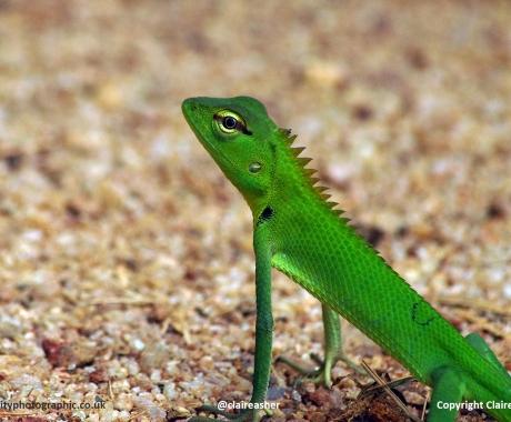 Lizard push-ups