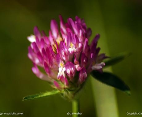 Vibrant florette