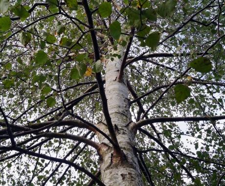 Silver birch chill