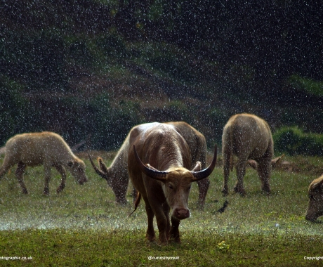 Stormy Cattle