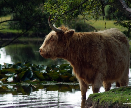 Contemplative Cow
