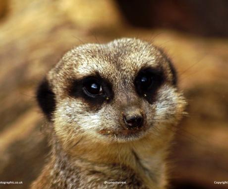 Meerkat smile
