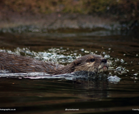 Otter paddle