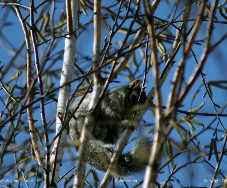 Wintery Squirrel