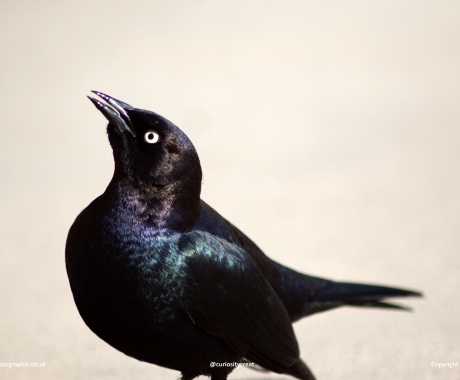 Great Grackle