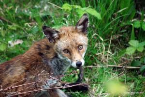 Nextdoor Fox
