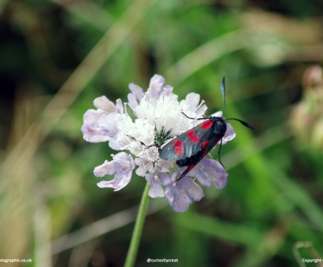 Welsh Burnet