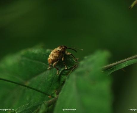 Winter weevil